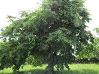 : krásné ovocné stromy (Prodej domu v osobním vlastnictví 229 m², Chválenice)