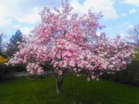 rozkvetlá magnolie - Prodej domu v osobním vlastnictví 270 m², Praha 9 - Vinoř