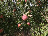 chutná jablka  - Prodej pozemku 2093 m², Říčany